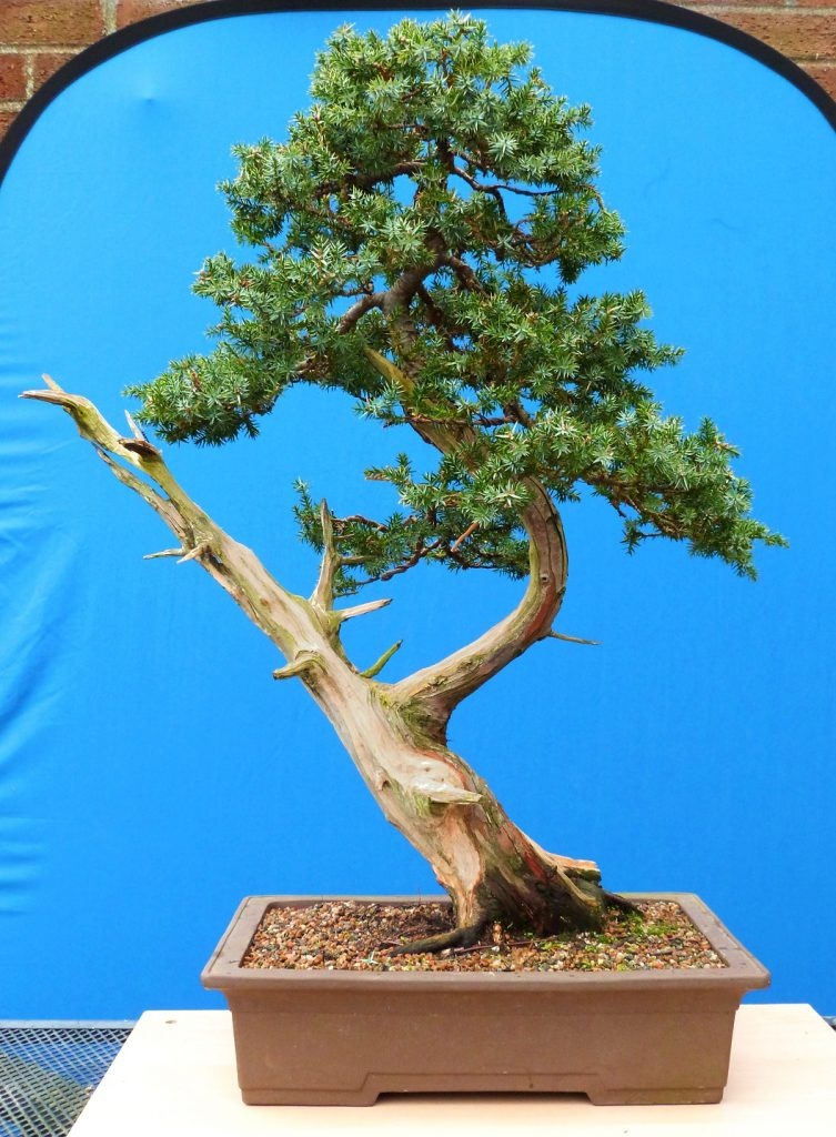 Bonsai Photo Of The Day 12/28/2016 How Much Do You Know About Bonsai Jack?