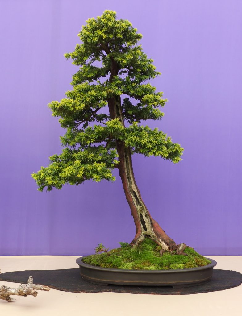 Bonsai Photo Of The Day 12/22/2016 (Texas Baccata)