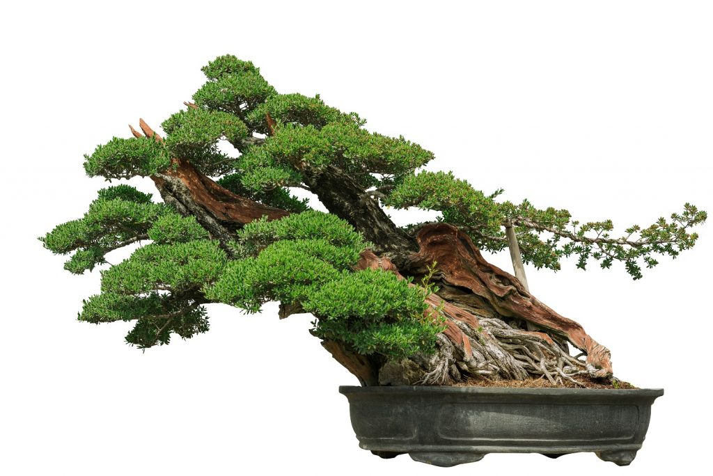 Bonsai Photo Of The Day 12/29/2016 Slanting Style