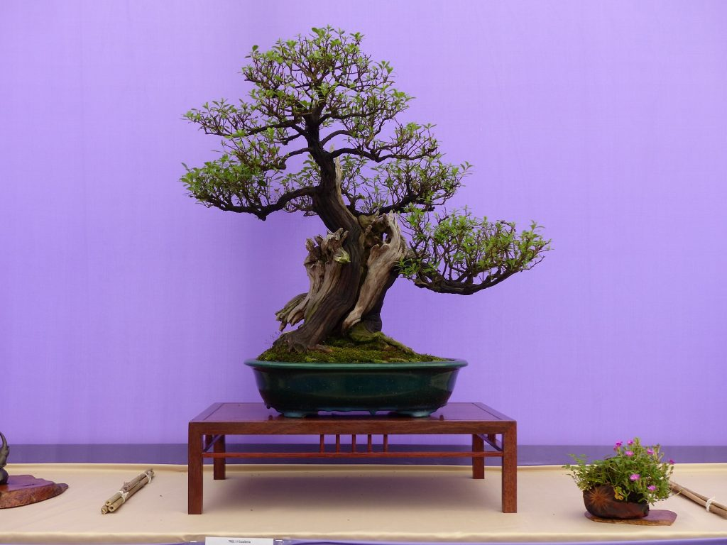 Bonsai Photo Of The Day 12/30/2016 Escallonia Bonsai Tree