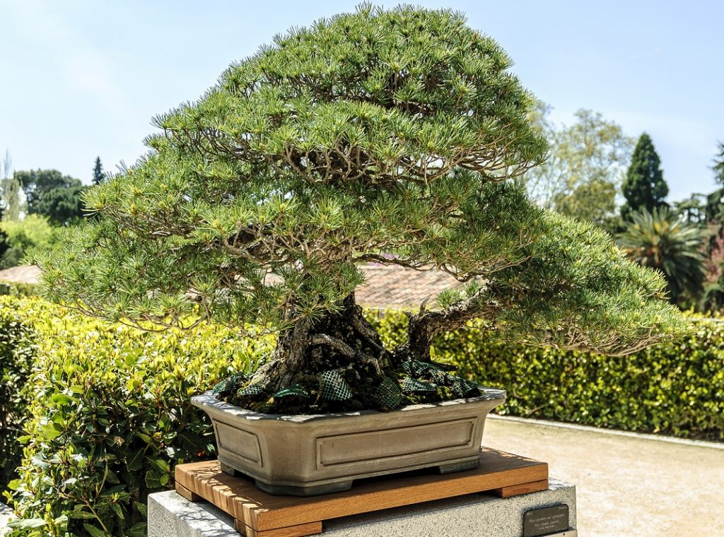 Bonsai Photo Of The Day 12/23/2016 Japanese White Pine (Hiroshima Survivor)
