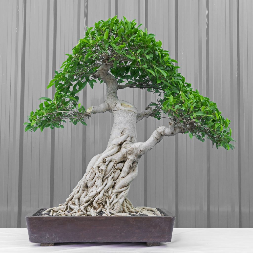 Bonsai Photo Of The Day 12/26/2016 (Correcting Misconceptions)