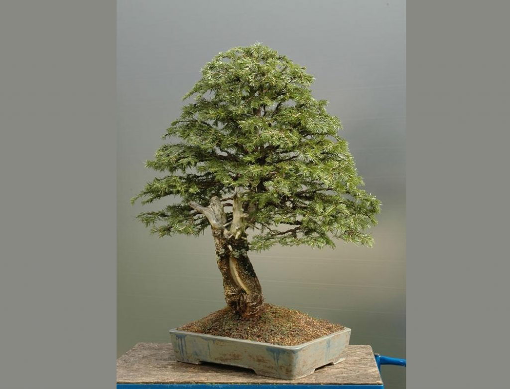Bonsai Photo Of The Day 1/4/2017