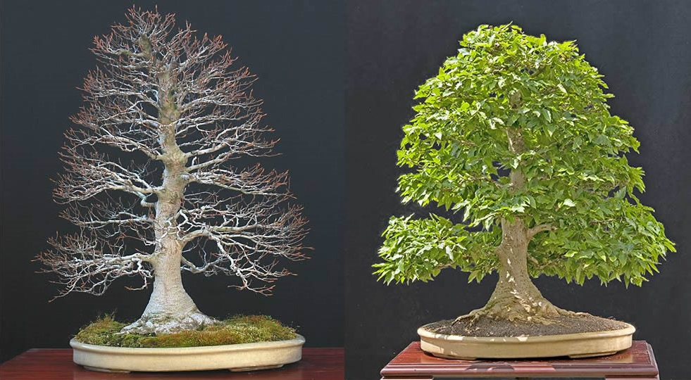 Bonsai Photo Of The Day 1/26/2017