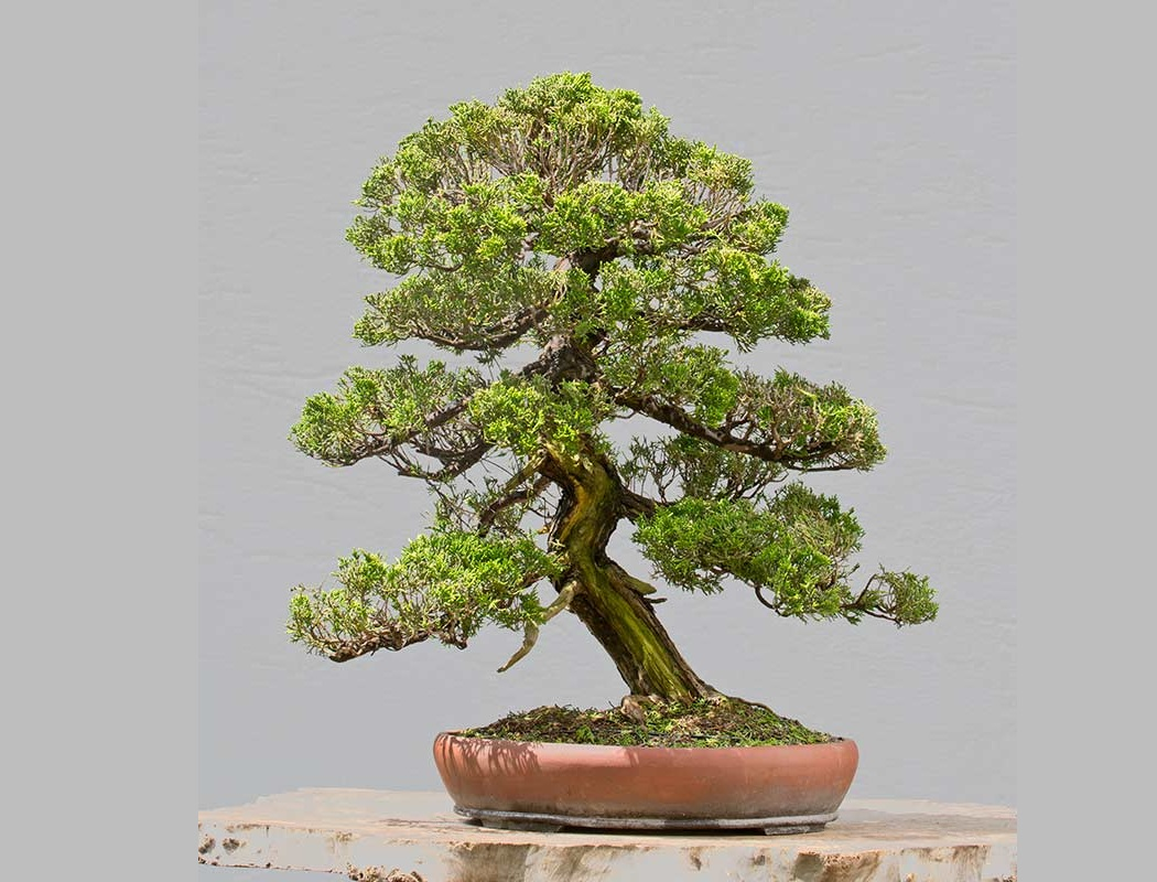 Bonsai Photo Of The Day 1/9/2017
