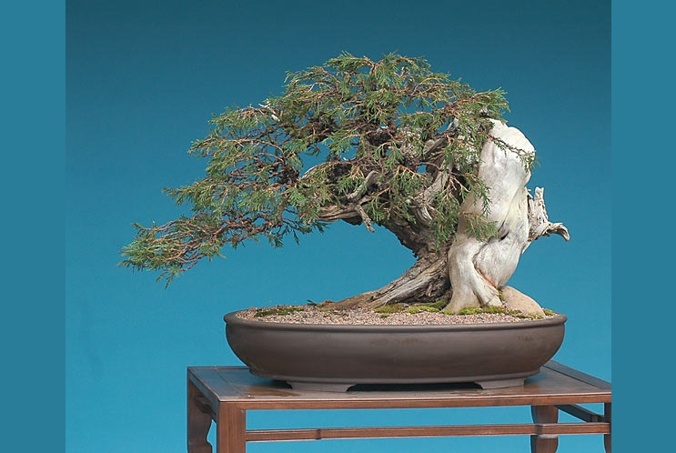 Bonsai Photo Of The Day 1/11/2017 (Deadwood Techniques)