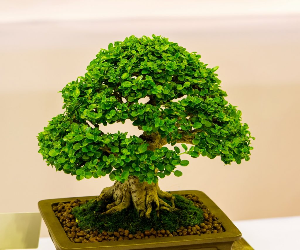 Bonsai Photo Of The Day 1/12/2017