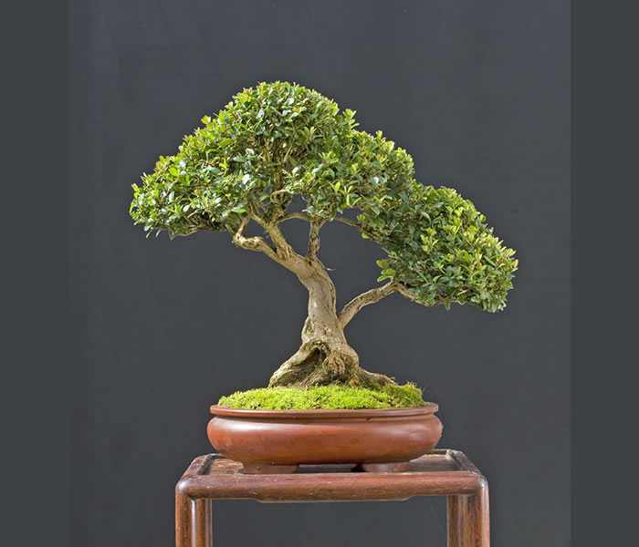 Bonsai Photo Of The Day 1/30/2017
