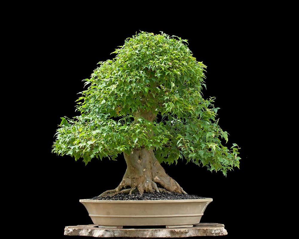 Bonsai Photo Of The Day 1/31/2017