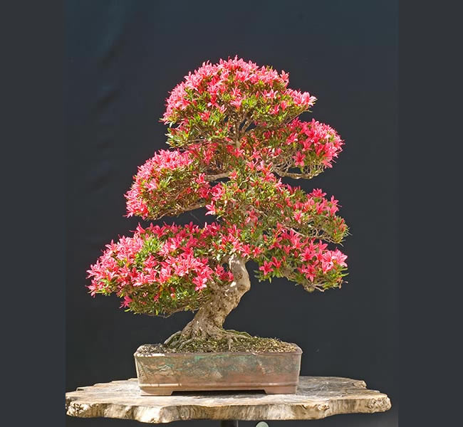 Bonsai Photo Of The Day 1/16/2017 (Who is Walter Pall?)
