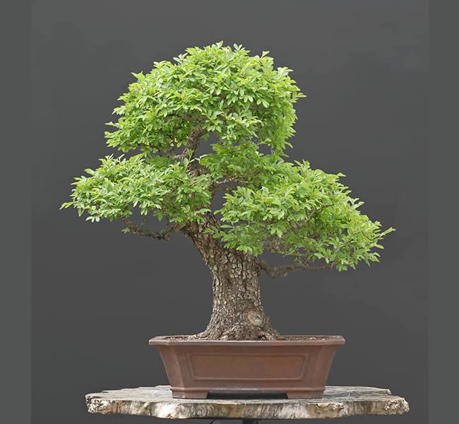 Bonsai Photo Of The Day 1/19/2017