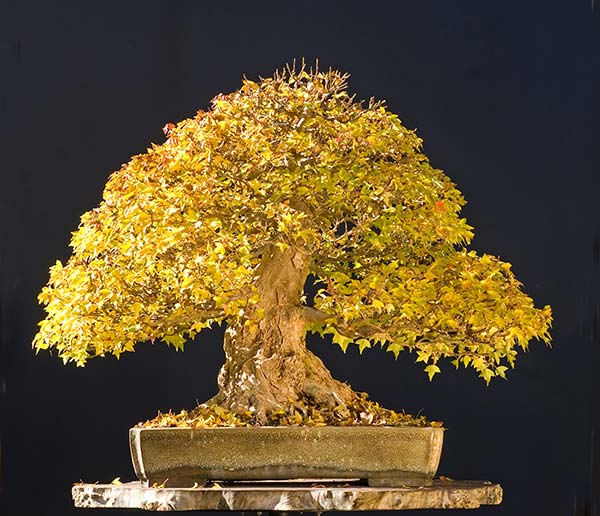 Bonsai Photo Of The Day 1/20/2017