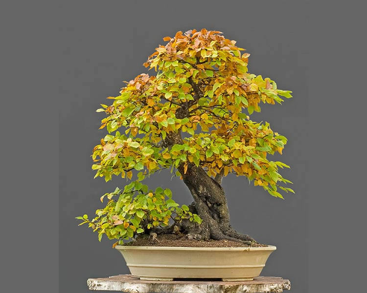 Bonsai Photo Of The Day 1/23/2017