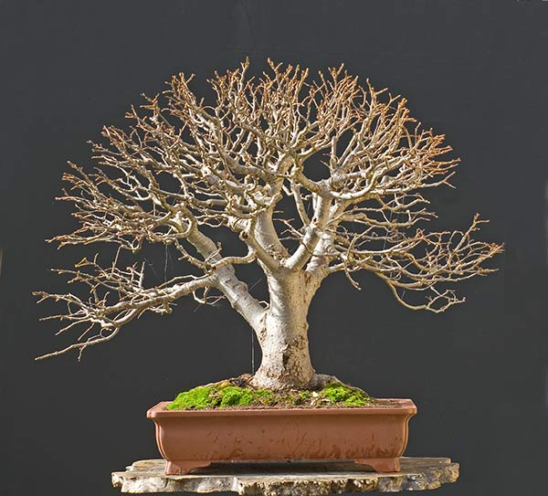 Bonsai Photo Of The Day 1/24/2017 (Why Do We Defoliate?)