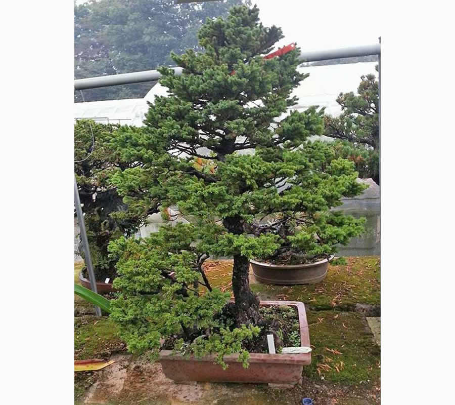 Bonsai Photo Of The Day 2/14/2017