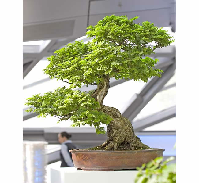 Bonsai Photo Of The Day 2/15/2017