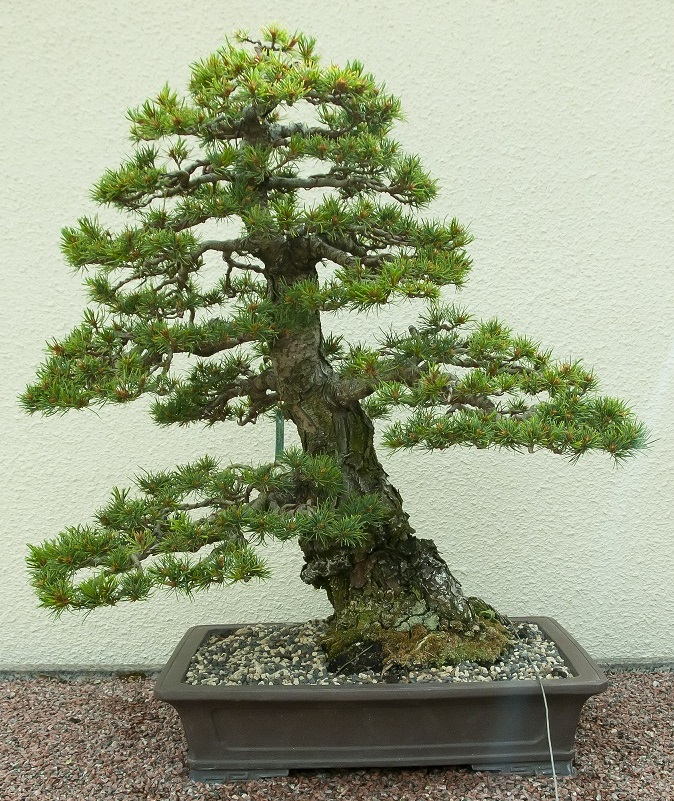Bonsai Photo Of The Day 2/20/2017