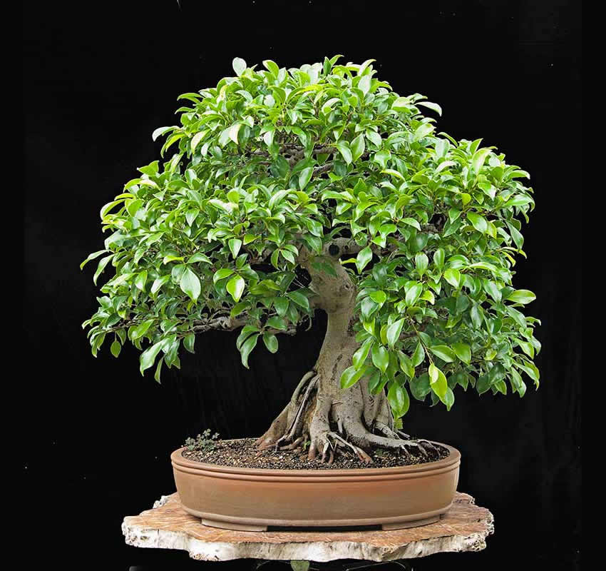 Bonsai Photo Of The Day 2/21/2017