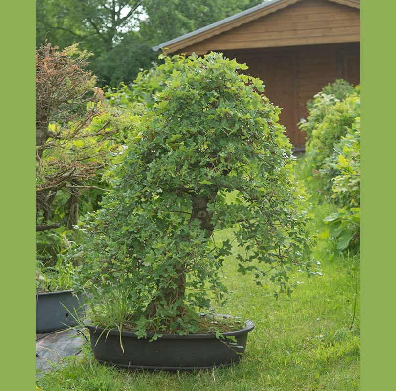 Bonsai Photo Of The Day 2/22/2017
