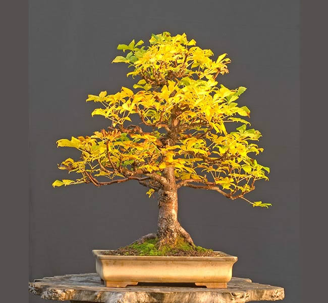 Bonsai Photo Of The Day 2/23/2017