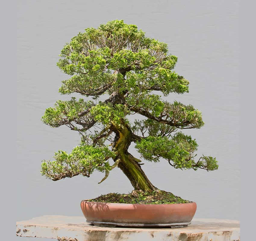 Bonsai Photo Of The Day 2/24/2017