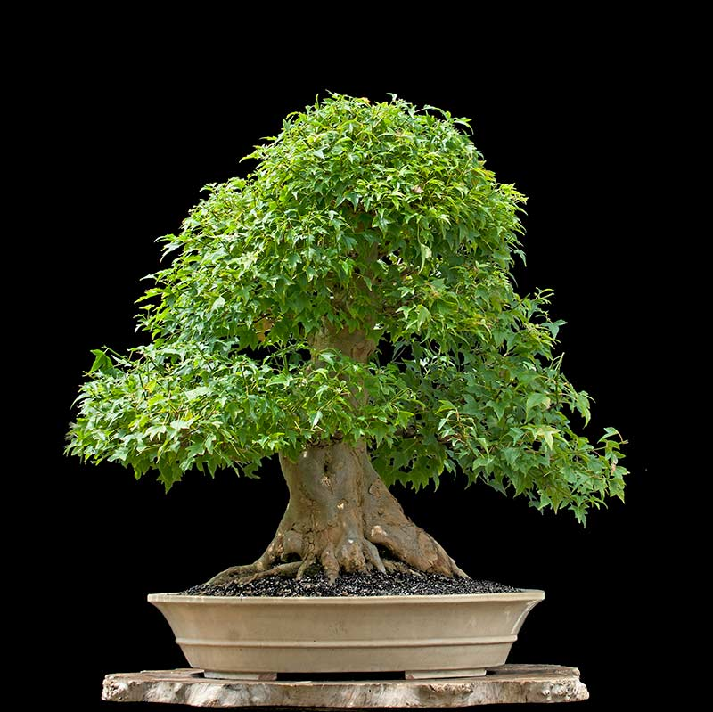 Bonsai Photo Of The Day 2/8/2017