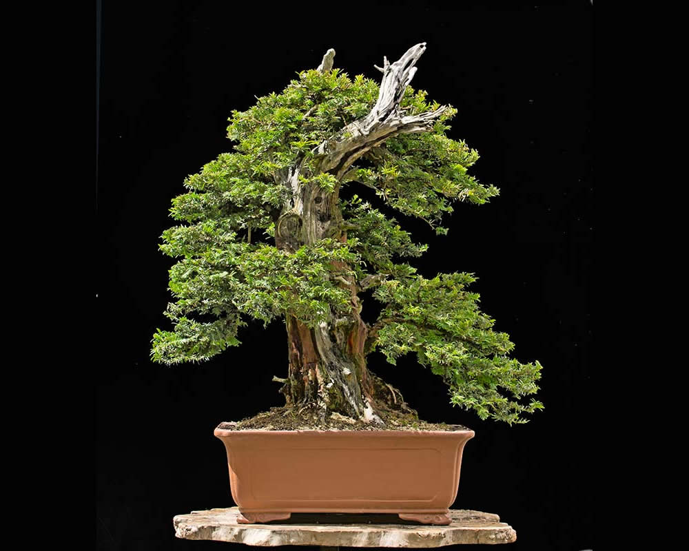 Bonsai Photo Of The Day 2/1/2017