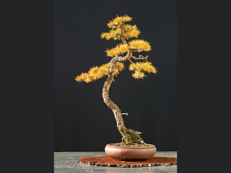 Bonsai Photo Of The Day 2/2/2017