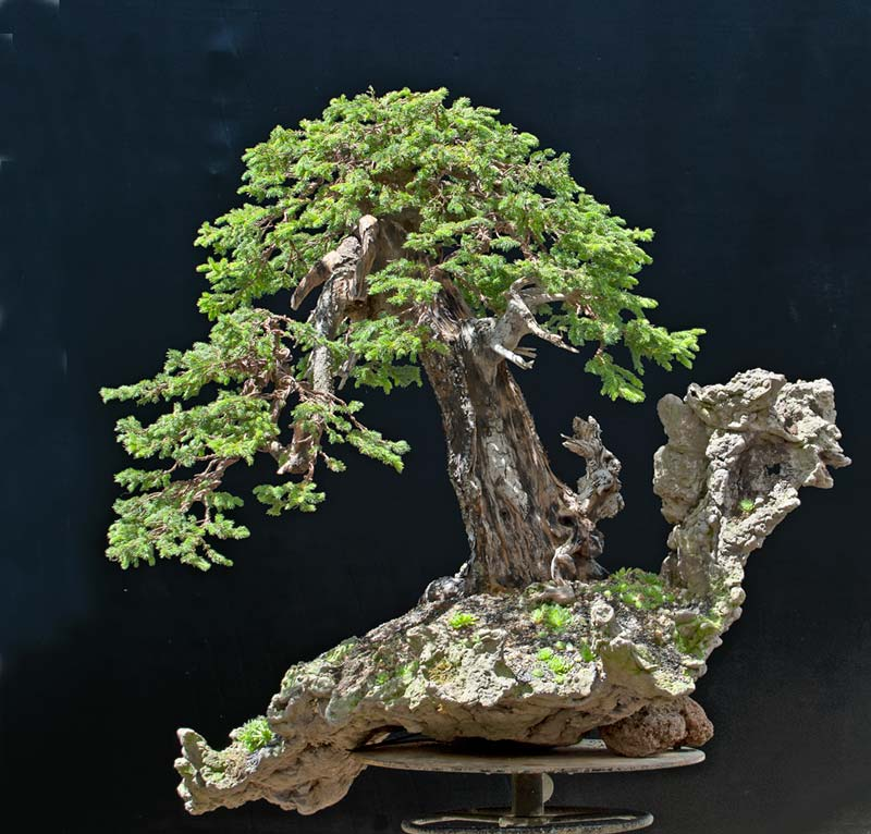 Bonsai Photo Of The Day 2/3/2017