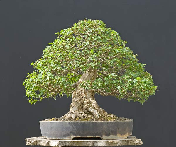 Bonsai Photo Of The Day 3/6/2017
