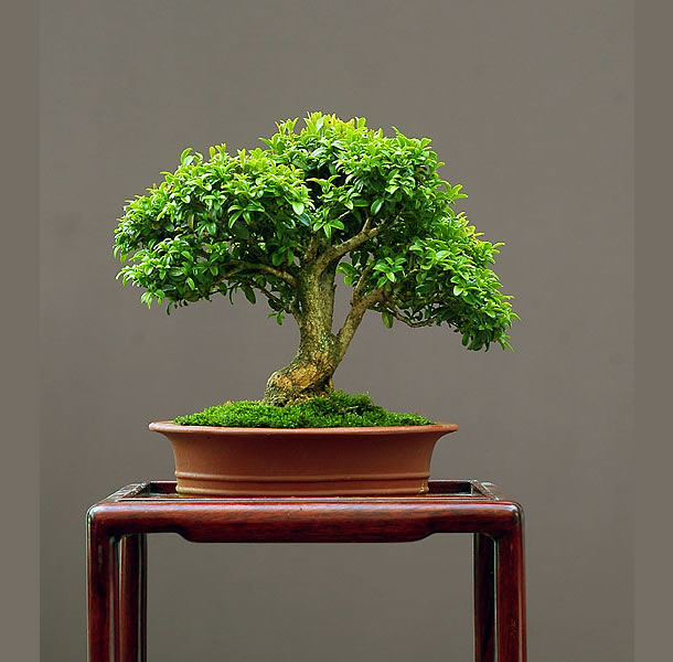 Bonsai Photo Of The Day 3/9/2017
