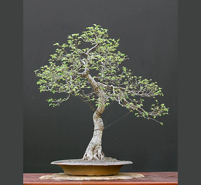 Bonsai Photo Of The Day 3/13/2017