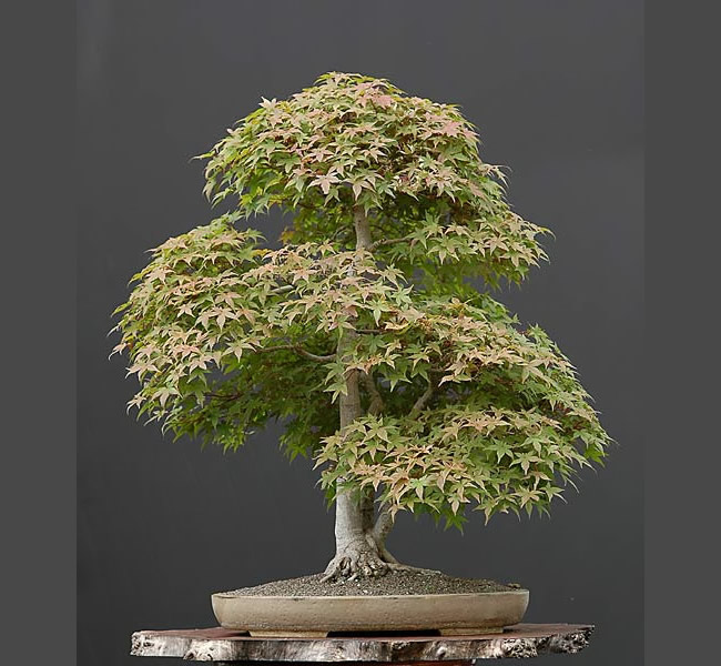 Bonsai Photo Of The Day 3/14/2017