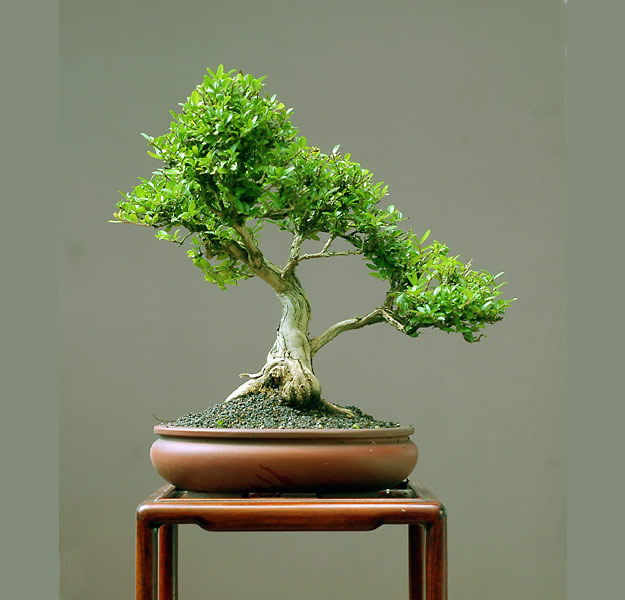 Bonsai Photo Of The Day 3/15/2017