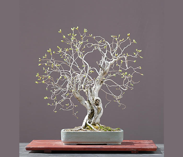 Bonsai Photo Of The Day 3/17/2017