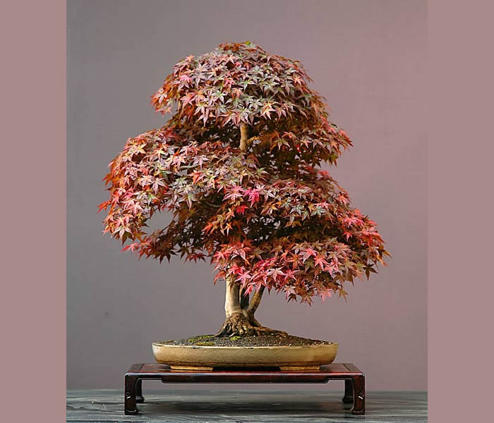 Bonsai Photo Of The Day 3/7/2017