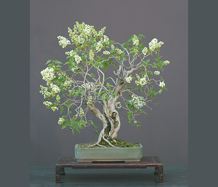 Bonsai Photo Of The Day 3/8/2017