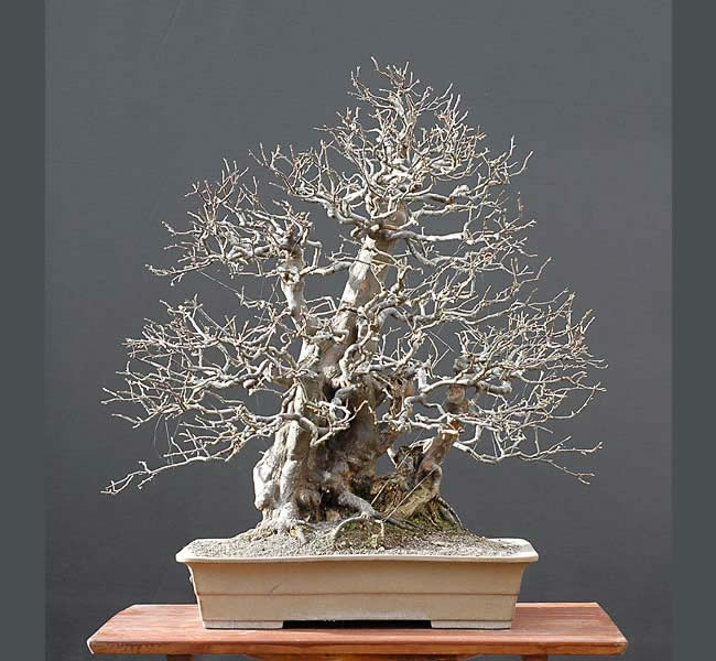 Bonsai Photo Of The Day 3/28/2017