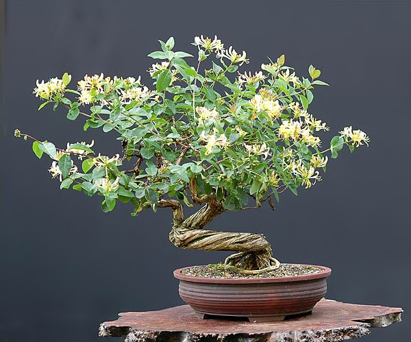 Bonsai Photo Of The Day 3/29/2017