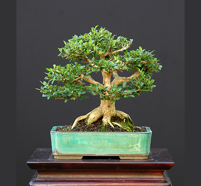 Bonsai Photo Of The Day 3/30/2017