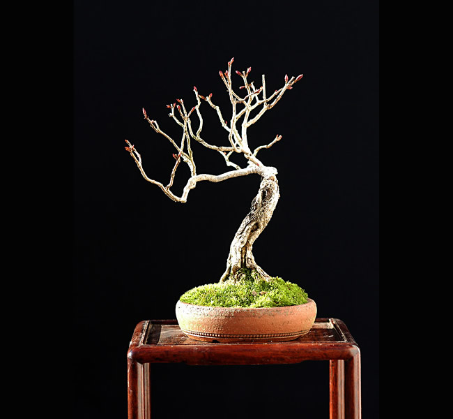 Bonsai Photo Of The Day 3/31/2017