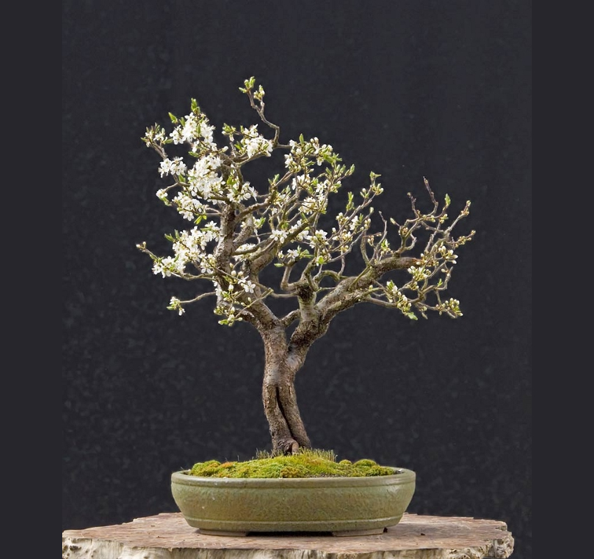 Bonsai Photo Of The Day 4/17/2017