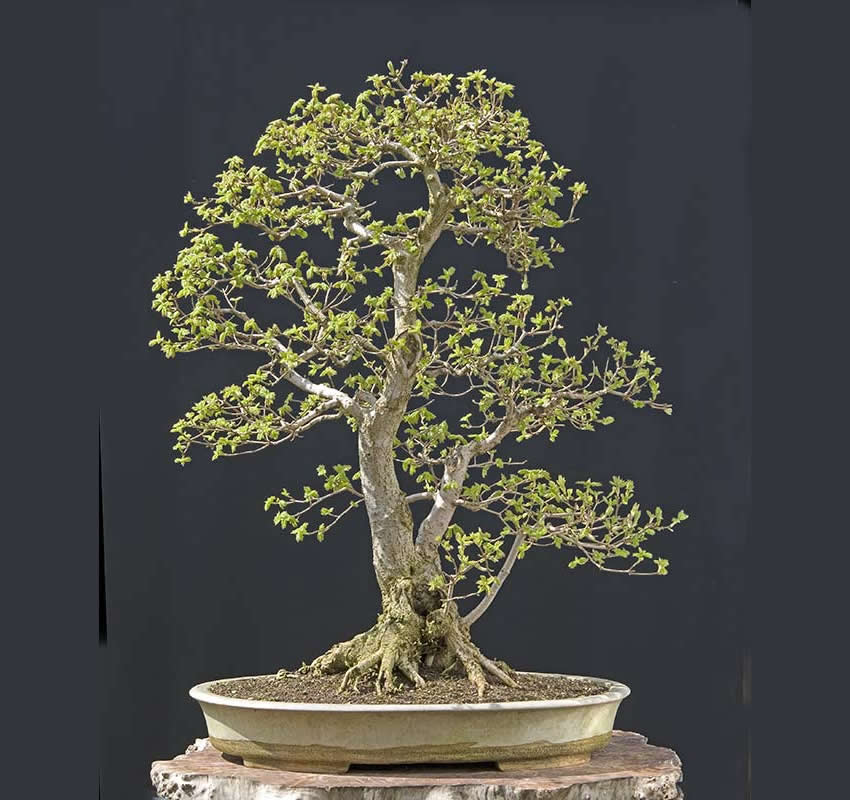 Bonsai Photo Of The Day 4/18/2017