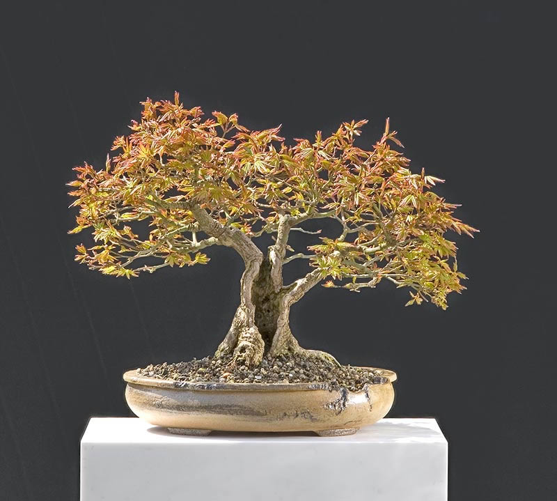 Bonsai Photo Of The Day 4/24/2017