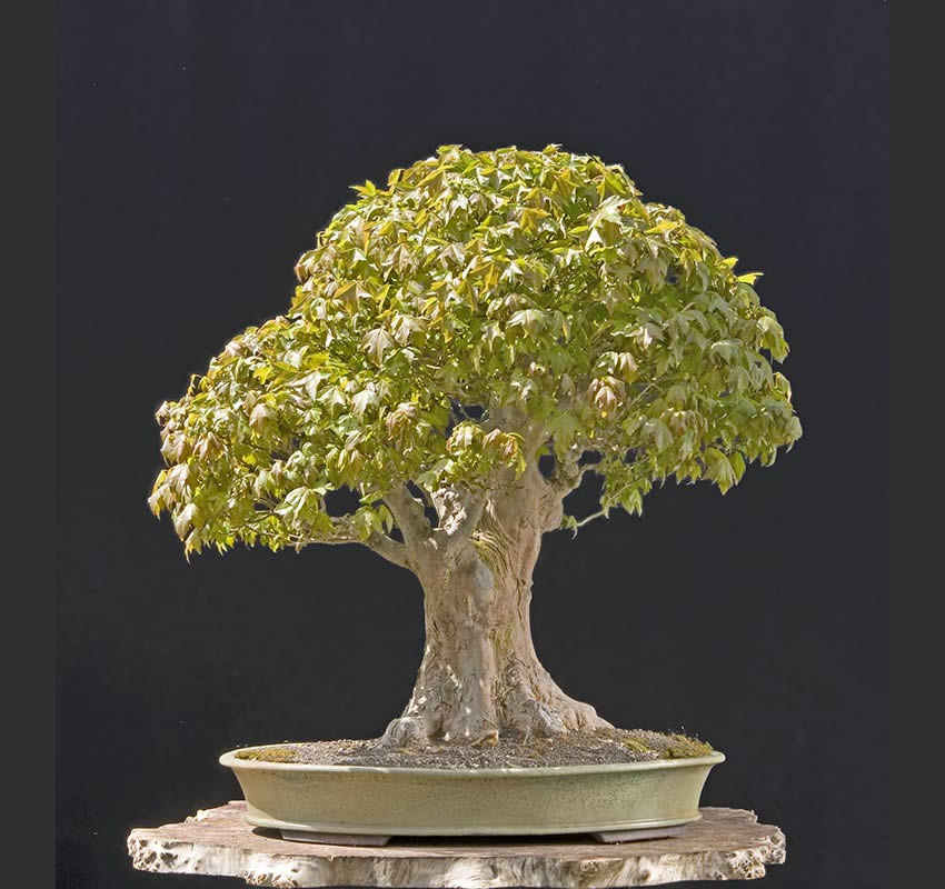 Bonsai Photo Of The Day 4/25/2017