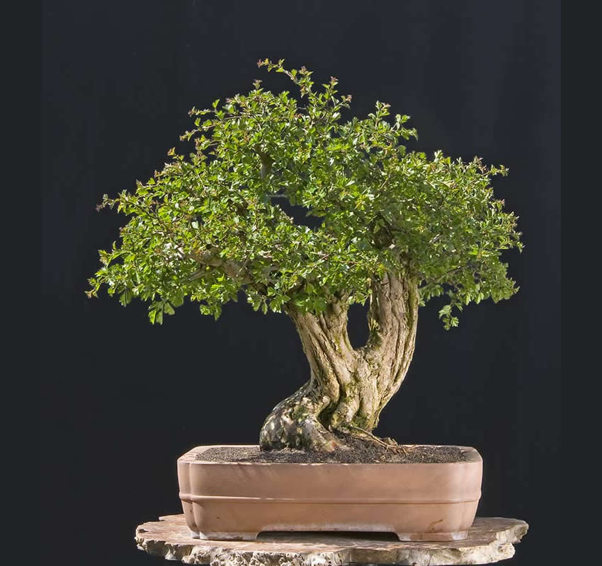Bonsai Photo Of The Day 4/26/2017