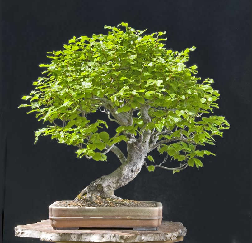 Bonsai Photo Of The Day 4/27/2017