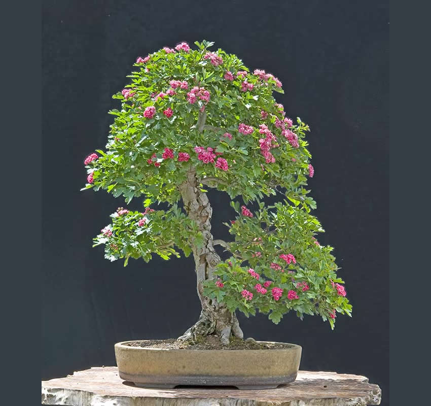 Bonsai Photo Of The Day 4/28/2017
