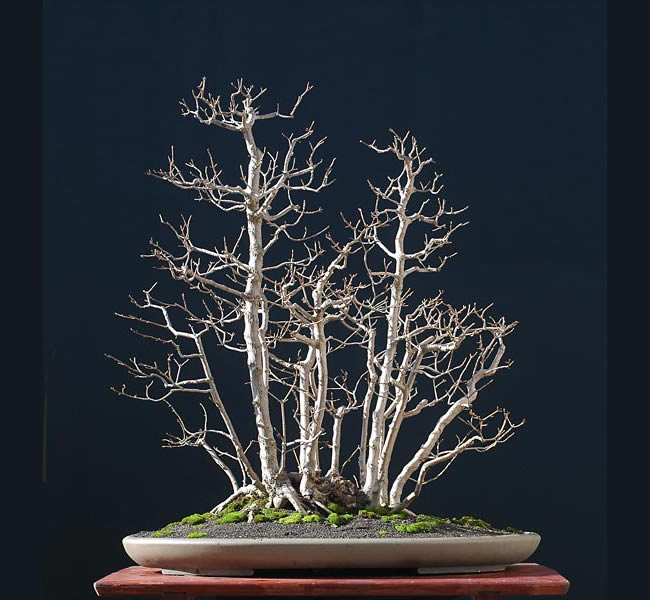 Bonsai Photo Of The Day 4/12/2017