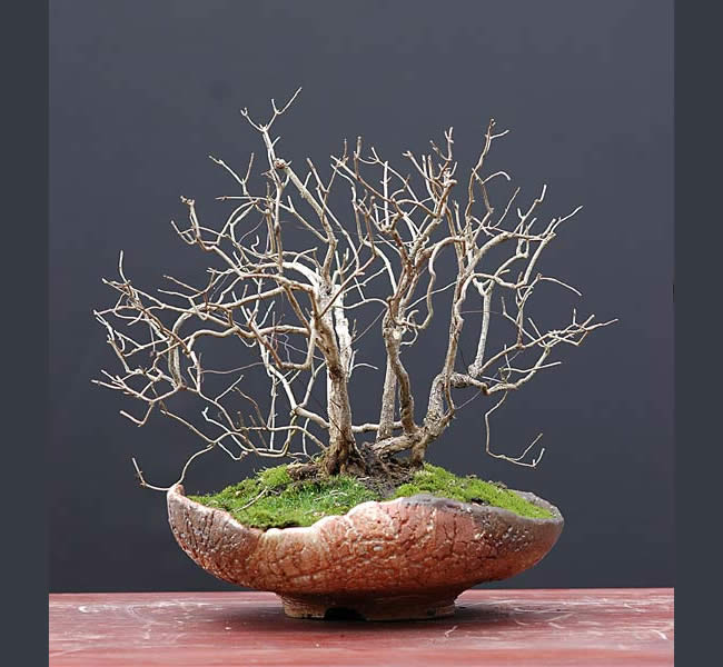 Bonsai Photo Of The Day 4/3/2017